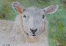 Lundy Sheep - Click for larger image